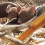 Student Organic Farm welcomes 17 piglets