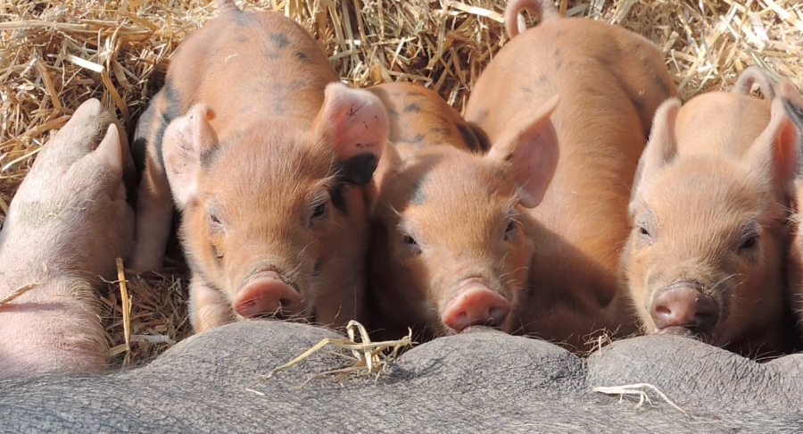Student+Organic+Farm+welcomes+17+piglets
