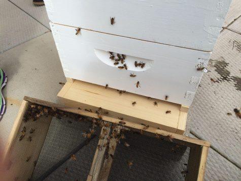 Bailey Hall Bees