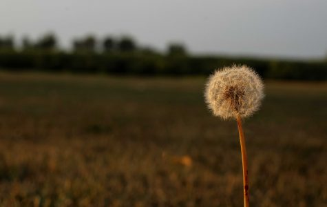 Dandelions | Ruth B
